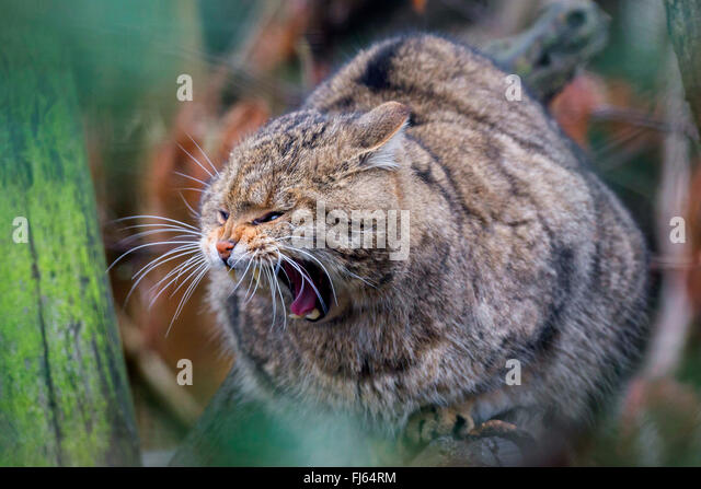 European wildcat, forest wildcat (Felis silvestris silvestris), sits on a tree yawning - Stock Image