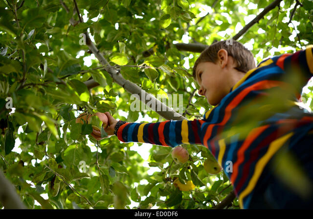 Little boy (6-7) picking apples from tree - Stock Image
