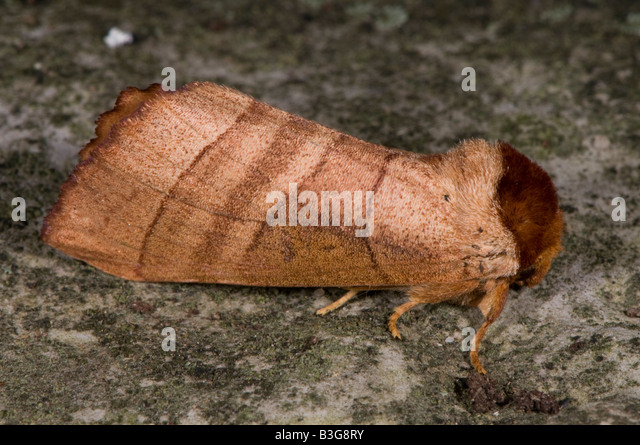Superfamily Noctuoidea Family Notodontidae Prominent Moths Subfamily Phalerinae Genus Datana - Stock Image