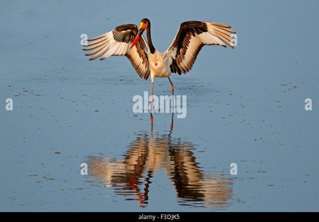 Sadle-billed stork (Ephippiorhynchus senegalensis), Kruger National Park, South Africa - Stock Image