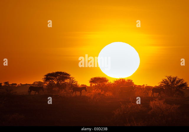 Zebras at sunset, Seregeti, Tanzania (Equus burchelli) - Stock-Bilder
