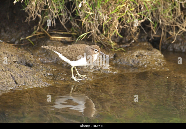 Common, sandpiper, Tringa, hypoleucos  searching for food on river bank. summer. norfolk broads uk - Stock Image