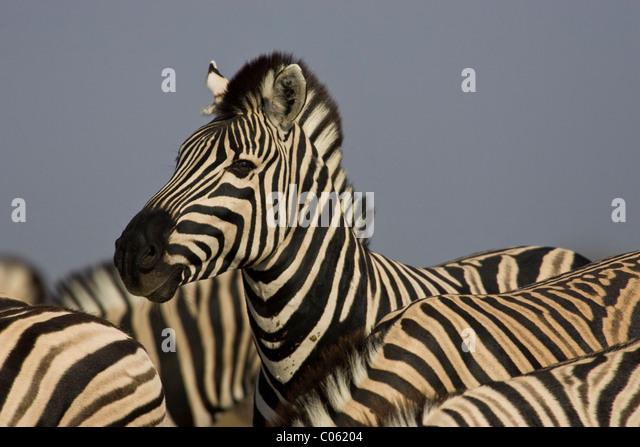 Zebra portrait, Etosha National Park, Namibia. - Stock-Bilder
