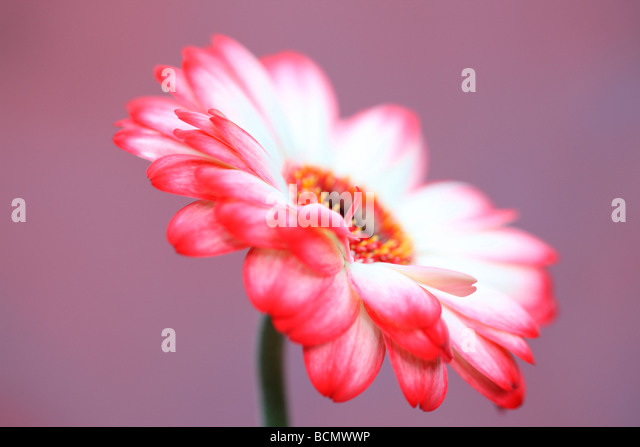 fresh and pure contemporary image of a red tipped gerbera fine art photography Jane Ann Butler Photography JABP379 - Stock Image