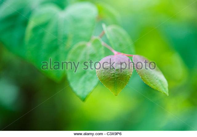 Cercidiphyllum japonicum 'katsura'. Japanese Judas tree leaves - Stock Image
