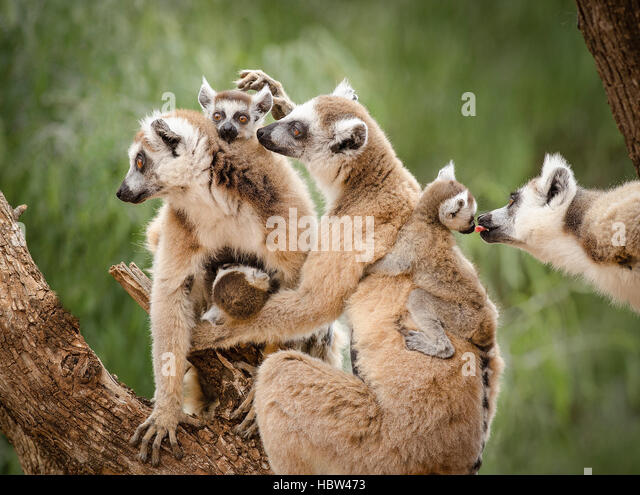 Ring-tailed lemur (Lemur catta) family - Stock Image