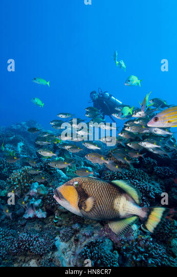 A Titan triggerfish (Balistoides viridescens giving the once-over. - Stock-Bilder