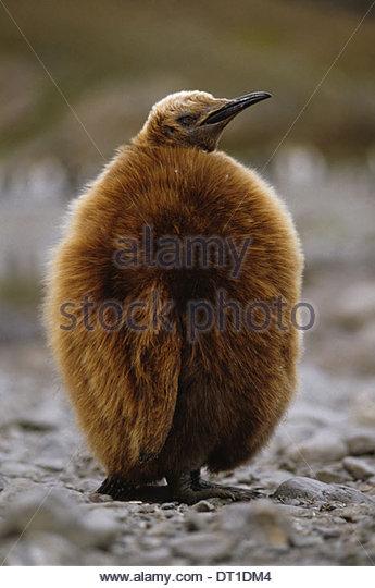 South Georgia Island South Atlantic Antarctica King penguin chick Aptenodytes patagonicus - Stock Image