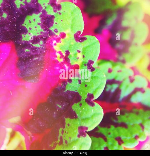 Coleus leaves - Stock Image