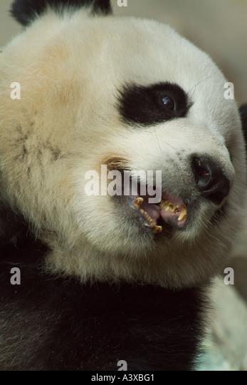 Giant panda Ailuropoda melanoleuca - Stock Image