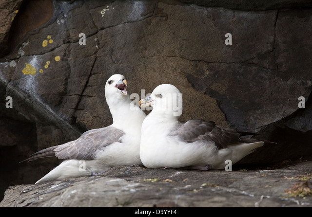 Northern fulmar (Fulmarus glacialis) adult pair in converstion cliff coast Flatey Island Breiðafjörður - Stock Image