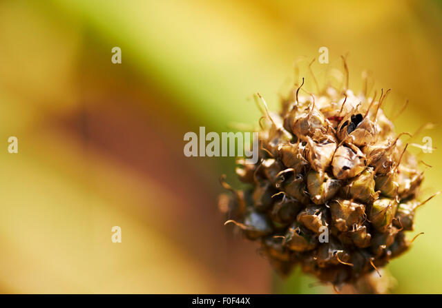 Decayed flower,Abstract, Flower, Plant, Nature, Outdoors, Wildlife, - Stock Image