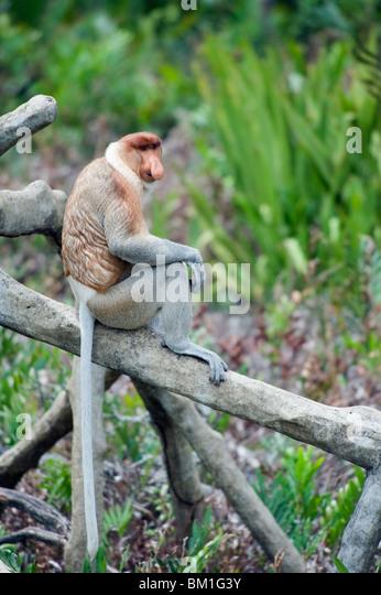 Proboscis monkey, Labuk Bay Proboscis Monkey Sanctuary, Sabah, Borneo, Malaysia, Southeast  Asia, Asia - Stock Image