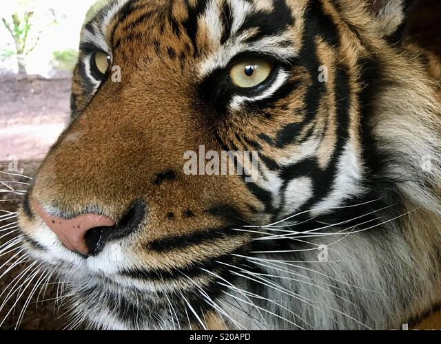 Close up of a Sumatran tiger with expressive eyes - Stock Image
