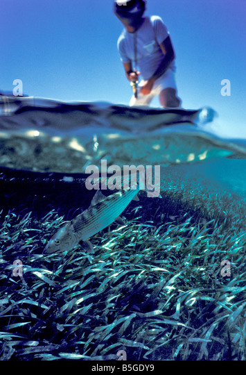 underwater bonefish over and under shows fish diving into eelgrass bed with angler standing in boat - Stock Image