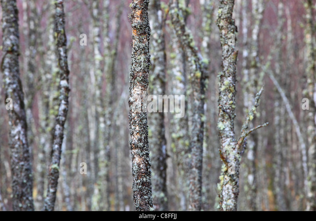 what is a tree trunk covered with 4 letters - lichen lichens tree trunk stock photos lichen lichens