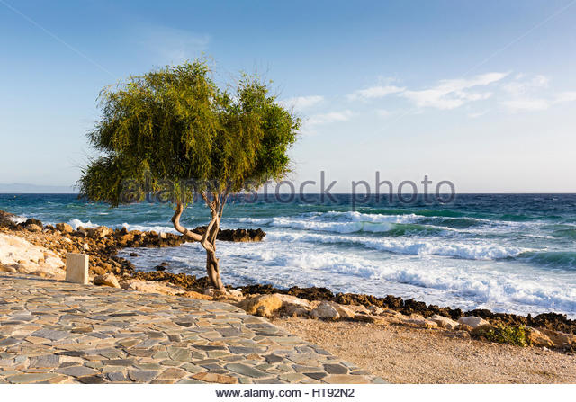 Twisted willow tree (Salix) by rocks in front of the rough surf of the Mediterranean Sea at Protaras in Cyprus - Stock-Bilder