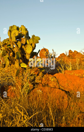 Opuntia prickly pear cactus and red boulders, Rabida Island, Galapagos islands, Ecuador - Stock Image
