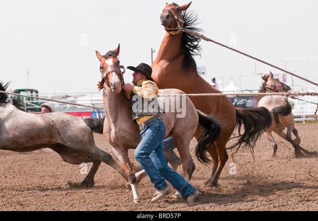 Wild horse round-up, Strathmore Heritage Days, Rodeo, Strathmore, Alberta, Canada - Stock Image