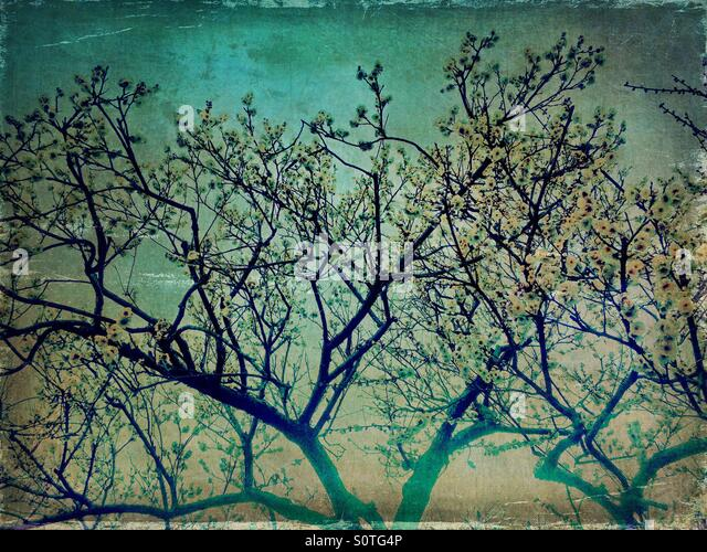 White plum blossoms and blue sky in Spring. Vintage paper texture overlay. - Stock Image
