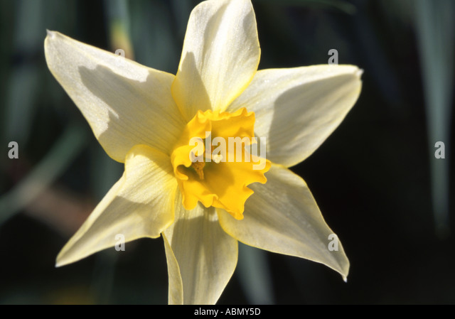 National Flower Of Wales Stock Photos & National Flower Of ...