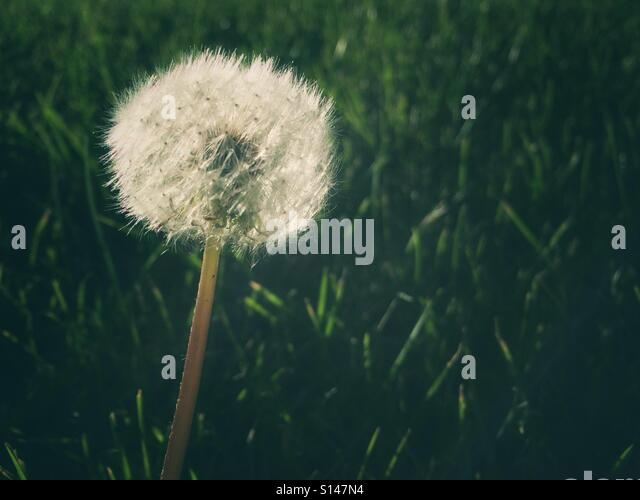 A dandelion seed head in the evening light. - Stock Image