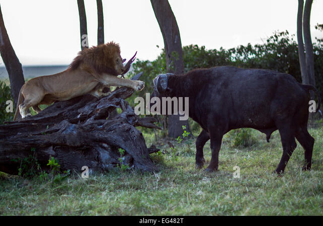 Male lion (Panthera leo) in confrontation Cape buffalo (Syncerus caffer). Masai Mara National Reserve Kenya July - Stock Image