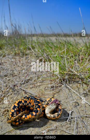 dice snake (Natrix tessellata), snake playing dead, Romania, Dobrudscha, Biosphaerenreservat Donaudelta, Sf�ntu - Stock Image