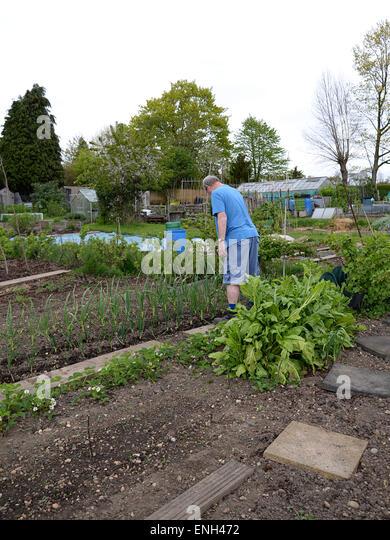 Middle aged man surveys onions growing in his garden allotment plot in Radlett Hertfordshire. - Stock Image