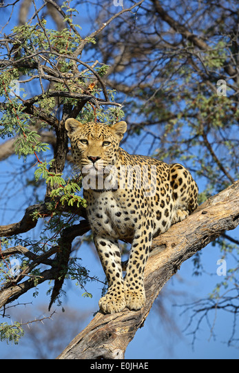 Leopard (Panthera pardus) haelt Ausschau auf einem Baum am Abend , Khomas Region, Namibia, Afrika - Stock Image