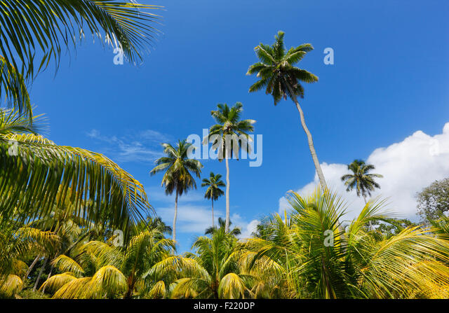 Palm trees in national park on island La Digue, Seychelles. - Stock Image