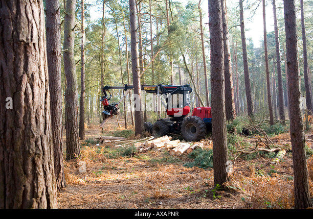 Forestry commission works on Scots Pine at Ockham Common Surrey UK - Stock Image