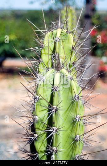 Pilosocereus Cacti Thorns - Stock Image
