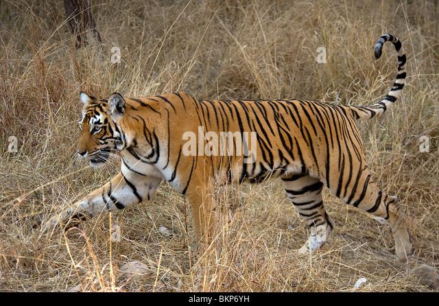 Female Bengal tiger, Panthera tigris, walking thro dry grass Ranthambore NP, India - Stock-Bilder