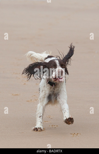 English Springer Spaniel - Stock Image