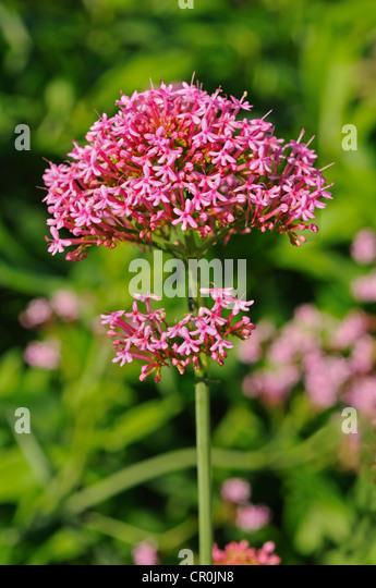 Red Valerian (Centranthus ruber), Europe - Stock Image