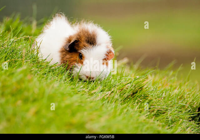 The guinea pig is also known as a cavy, and is a popular pet in Britain. They were used in biological experiments - Stock Image