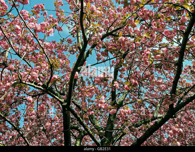 Blooming pink cherry blossom flower tree against a deep blue sky. - Stock Image