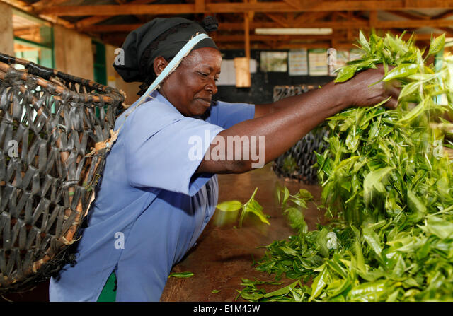 Margaret  Nderitu, a client of KWFT microcredit, handling harvested tea in the growers' cooperative pickup point - Stock Image
