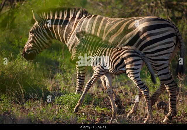 Burchells zebra with a foal in the bush, Kruger National Park, South Africa - Stock Image