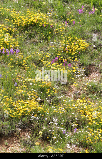 Wild flowes abound in the Sibillini National Park in the province of Le Marche Italy - Stock Image