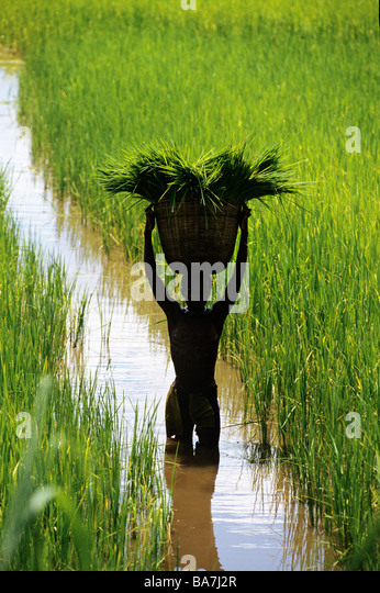 Collecting rice plants in rice paddy field on Malawi Mozambique border - Stock Image