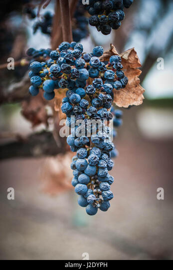 WiltedGrapes6973   - Stock Image