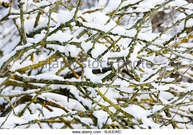 Snow covered branches of Hibiscus syriacus - Stock Image