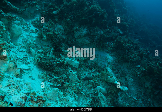 Destruction of bomb fishing on a coral reef, Sulawesi Indonesia - Stock Image