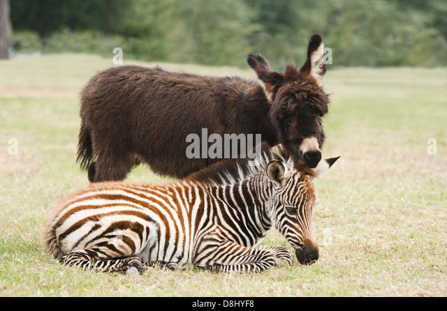 6 week old Grant Zebra foal and Miniature Donkey foal - Stock Image