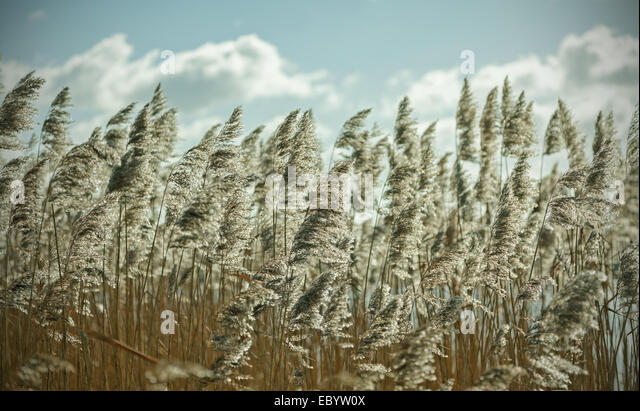 Retro filtered dry reeds nature background. - Stock Image
