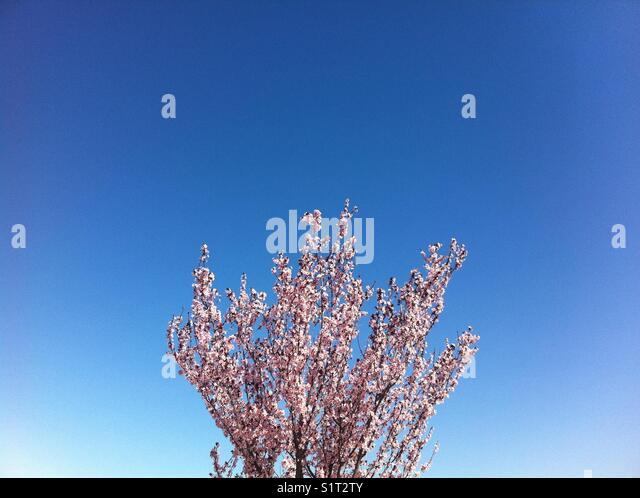 Blue sky, spring blossoms - Stock Image
