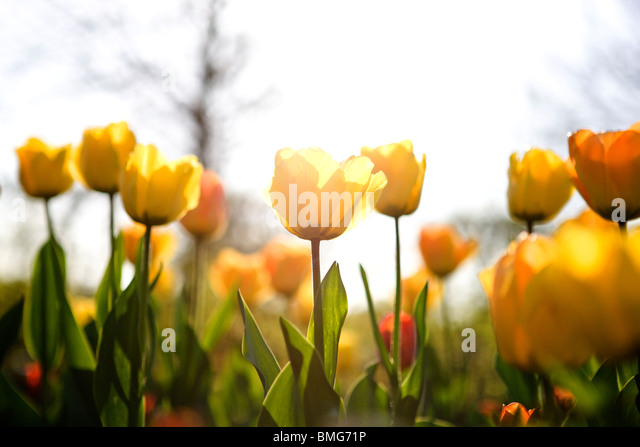 A bed of yellow tulips in spring - Stock Image