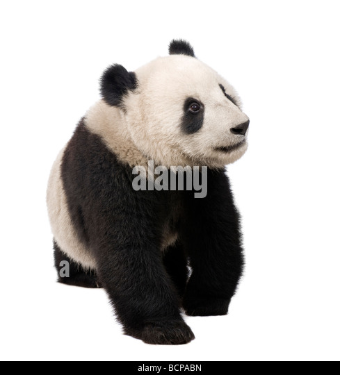 Giant Panda, 18 months, Ailuropoda melanoleuca in front of a white background, studio shot - Stock Image